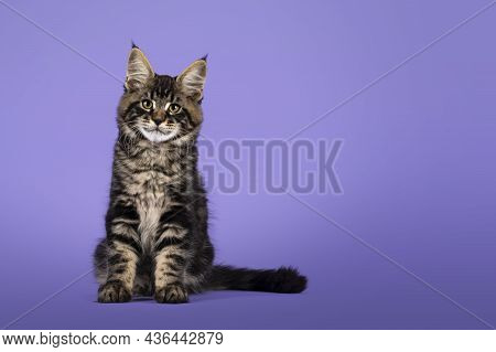 Cool Tabby Maine Coon Cat Kitten, Sitting Facing Front. Looking Towards Camera. Isolated On A Purple