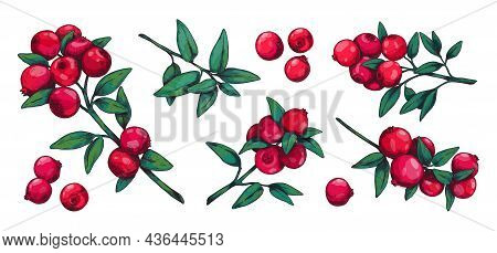 Cranberry. Hand Drawn Forest Summer Wild Berry For Dessert And Vegetarian Food. Red Sour Cowberry Vi