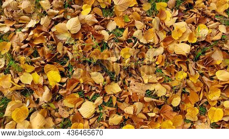 Autumn Leaves On Green Grass. Yellow, Orange Linden Leaves Lying On The Ground. Fallen Foliage In Th
