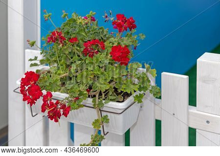 Red Flowers In Hanging Pot At White Fence