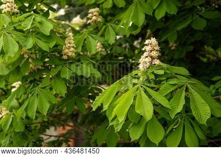 Blooming Horse Chestnut On A Green Bokeh Or Blurred Background. Flowers Of Chestnuts Tree In Spring