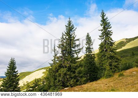 Coniferous Trees On The Meadow. Beautiful Mountain Landscape Of Synevyr National Park, Ukraine. Gree