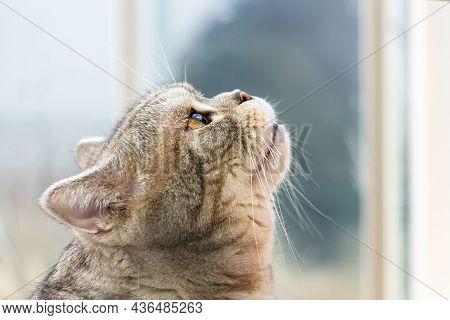 Grey Shorthair Scottish Tabby Cat Looking Up, Profile View.