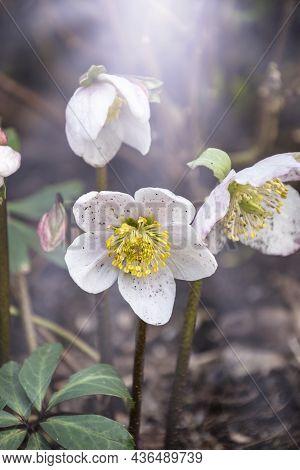 Helleborus In An Organic Garden. Despite Names Such As Winter Rose, Christmas Rose, And Lenten Rose,