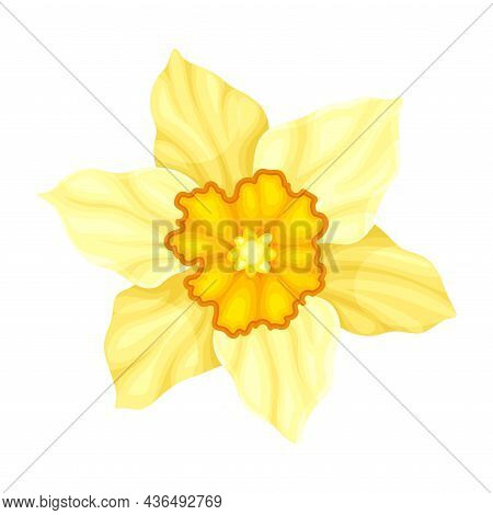 Bright Yellow Flower With Showy Petals And Stamen Closeup Vector Illustration