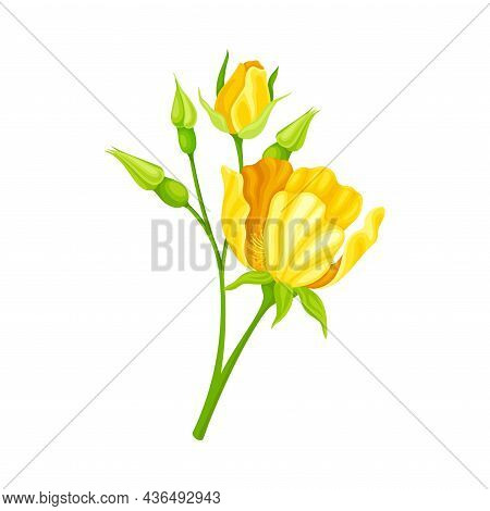 Bright Yellow Rose Flower With Showy Petals On Stem Closeup Vector Illustration