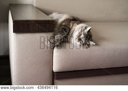A Large Domestic Tabby Cat Lies On The Couch.