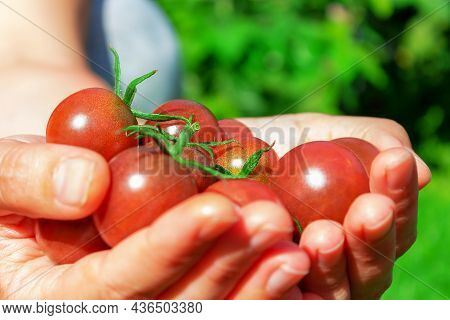 Ripe Red Cherry Tomatoes In Womans Hand. Farmer Holding Tomatoes Harvest In Hands In Summer. Close-u