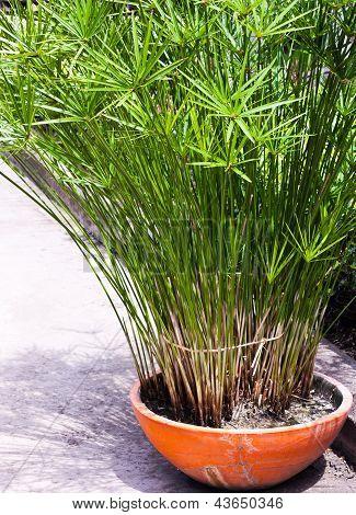 King Tut Papyrus Plants