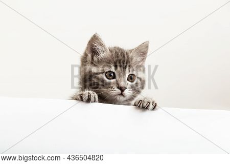 Kitten Surprised Portrait With Paws Peeking Over Blank White Sign Placard Look Side. Tabby Baby Cat