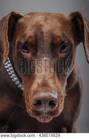 Shot Of Purebred Brown Doberman Dog Against Gray Background