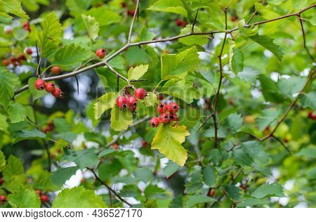 Bright Red Hawthorn Berries On A Background Of Green Foliage Of A Tree