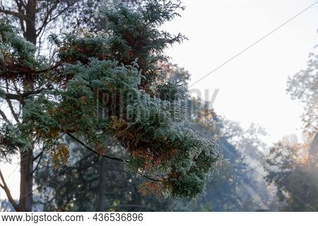 Branches Of Juniper Tree Covered With Morning Dew In Autumn Park On A Blurred Background, In Selecti