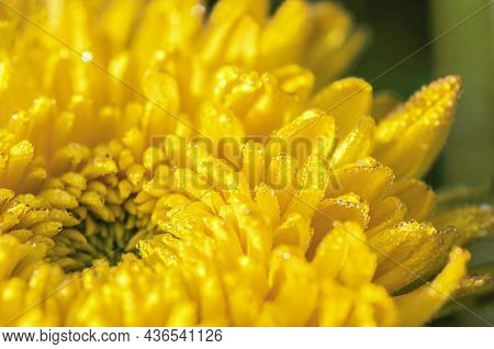 Bright Yellow Chrysanthemum Close Up With Dewdrops In The Morning Light