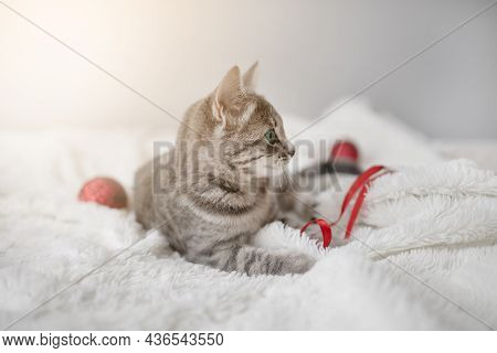 Frolicsome Gray Tabby Kitten With Blue Eyes Plays With A Red Satin Ribbon On A White Plaid In The Li