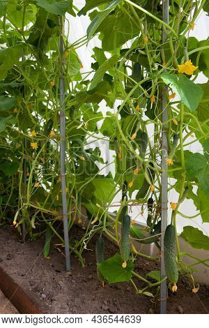 Vegetables Grow In A Greenhouse. Fresh Cucumbers In The Greenhouse