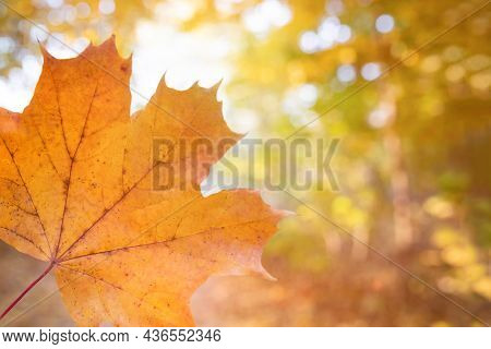 Maple Autumn Leaf In An Autumn Park On A Sunny Day. Autumn Leaf Season