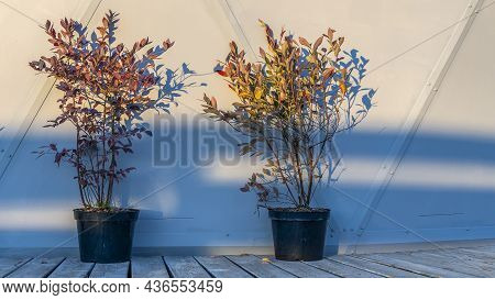 Small Trees In A Black Pots On White Background. Decoration Of The Street In Flowers. Space For Text