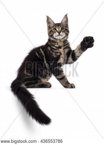 Beautiful Maine Coon Cat Kitten, Sitting Side Ways On Edge. Tail Hanging Down And One Front Paw High