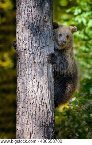 Wild Brown Bear (ursus Arctos) Leans Against A Tree In The Autumn Forest. Animal In Natural Habitat.