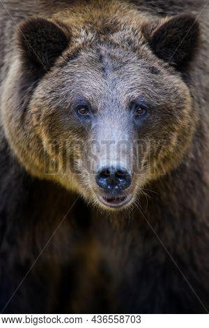 Portrait Wild Brown Bear (ursus Arctos) In The Autumn Forest. Animal In Natural Habitat. Wildlife Sc