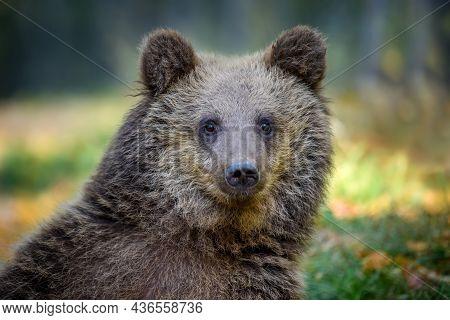 Portrait Baby Cub Wild Brown Bear In The Autumn Forest. Animal In Natural Habitat. Wildlife Scene
