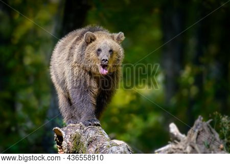 Baby Cub Wild Brown Bear (ursus Arctos) On Tree In The Autumn Forest. Animal In Natural Habitat