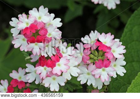 Pink And White Verbena Flowers Of Unknown Variety In Close Up With A Blurred Background Of Leaves.