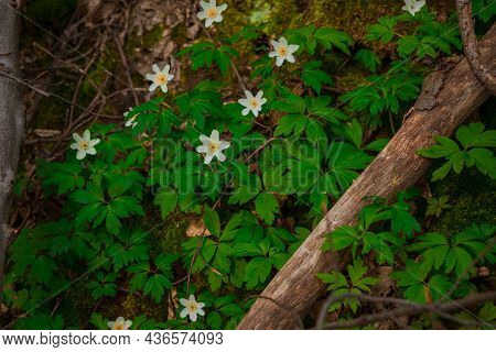 Springtime Day Nature Scenic View Of White Chamomiles And Green Grass On Ground Blossom Season Time
