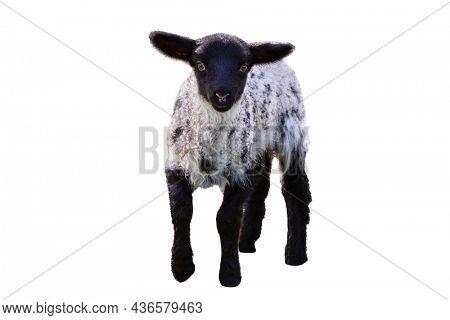 Baby lamb isolated on white background