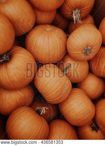 Bunch Of Orange Pumpkin With Stalks Background For Autumn, Halloween, Thanksgiving, Harvest Time In