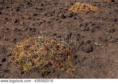 Dry Potato Tops Lying On The Bed On The Ground. High Quality Photo