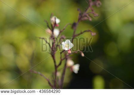 Coral Bells Silver Scrolls Flowers - Latin Name - Heuchera Silver Scrolls