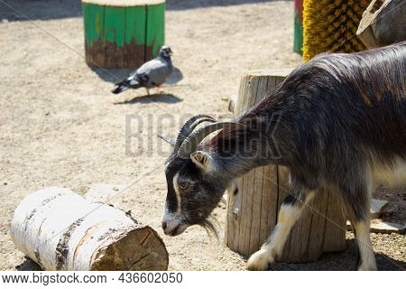 Domestic Goat In A Summer Day. Domestic Animal