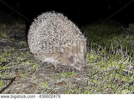 Wild Hedgehog Is Common On A Night Hunt In Search Of Insects And Other Food. The European Hedgehog W