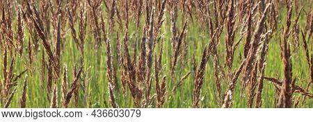 Brownrass In Meadow. Field With Wild Grass