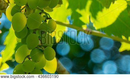 Ripe Green Grape In Vineyard. Grapes Green Taste Sweet Growing Natural. Green Grape On The Vine In G