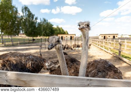 Many Big African Ostrich Birds Walking In Paddock With Wooden Fence On Poultry Farm Yard Against Blu