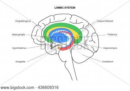 Limbic System Concept And Human Brain Anatomy. Basal Ganglia, Amygdala, Thalamus, Cingulate Gyrus An