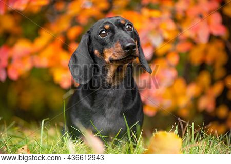 Adorable Dachshund Puppy Looks At Someone With An Obedient Look, Standing On A Lawn Among Green Gras