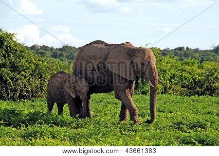 Mother And Baby African Elephants, Botswana, Africa.