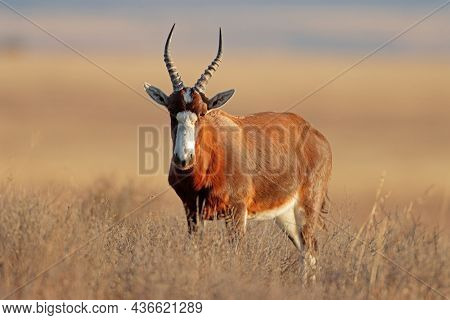 A blesbok antelope (Damaliscus pygargus) standing in grassland, Mountain Zebra National Park, South Africa