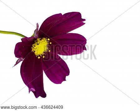 Dark Purple Cosmos Flower (cosmos Bipinnatus) Isolated On A White Background