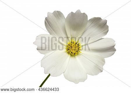 White Cosmos Flower (cosmos Bipinnatus) Isolated On A White Background