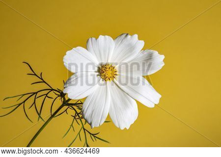 Pink Cosmos Flower (cosmos Bipinnatus) Isolated On A Yellow Background