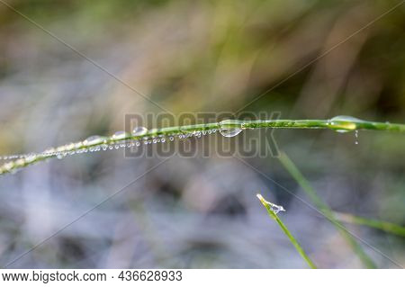 Dew On Green Grass. Water Drops, Morning Coolness And Weather