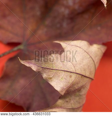 Red Dry Maple Leaf Abstract Image Of Close Up Macrophoto On Red Background