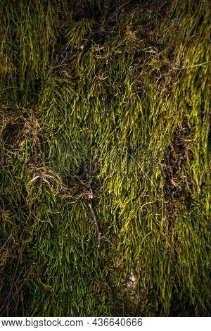 Closeup Of The Green Moss On The Tree. Beautiful Nature Background