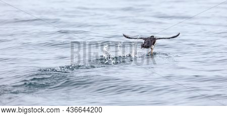 Puffin Flying Over The Water, Atlantic Ocean Near Iceland
