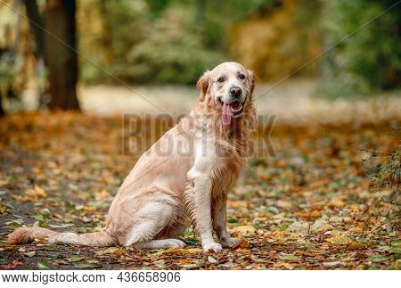 Golden retriever dog sitting on yellow leaves in autumn park and looking at camera. Cute purebred doggy pet outdoors